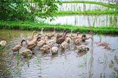 Ducks on rice fields near Ubud — Stock Photo