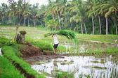 Man working on rice field near Ubud — Stock Photo