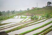 Jatiluwih rice terrace on a rainy day — Stock Photo