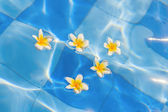 Beautiful frangipani flowers in water — Stockfoto