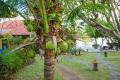 Coconut palm on a tropical resort on Bali — Stok fotoğraf