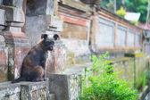 Stray dog on a street of Ubud, Bali — Stock Photo