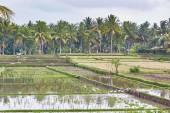 Rice fields on a rainy weather near Ubud, Bali — Stock Photo