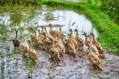 Ducks on rice fields near Ubud, Bali, Indonesia  — Stock Photo