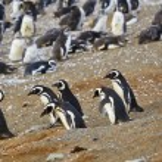 Постер, плакат: Magellanic penguins in natural environment