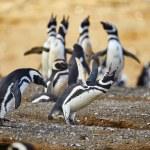 ������, ������: Magellanic penguins in natural environment