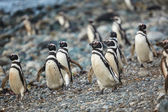 Magellanic penguins in natural environment — Stock Photo
