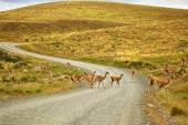 Guanacoes in Torres del Paine natural park — Stock Photo