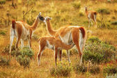 Mother guanaco feeding its baby — Stock Photo