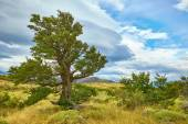 Tree in Torres del Paine natural park  — Stock Photo