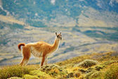 Guanaco in Torres del Paine national park — Stock Photo