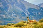 Mother guanaco with its baby — Stock Photo