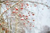 Mountain-ash berries with snow — Stock Photo