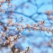 Cherry blossoms against the blue sky — Stock Photo #64487739