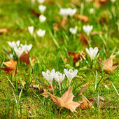 White crocus at spring — Stock Photo