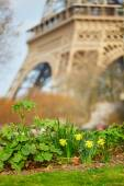 Narcissus blooming near the Eiffel tower — Stock Photo