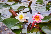 White and pink waterlilies in a pond — Stock Photo