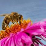Bee on a daisy. — Stock Photo #60826785