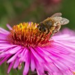 Bee on flower. — Stock Photo #60826805