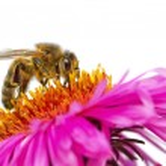 Bee on a daisy. — Stock Photo #60827023