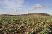 Canola field. — Stock Photo
