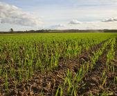 Growing wheat. — Stock Photo