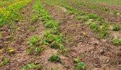 Field of strawberries. — Stock Photo