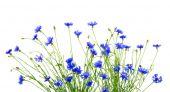 Blue cornflowers  — Stock Photo