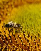 Pszczoła w słonecznika — Zdjęcie stockowe
