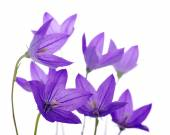 Bellflower — Stock Photo