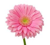 Růžová gerbera — Stock fotografie