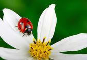 瓢虫和花 — 图库照片