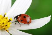 Coccinella e fiore — Foto Stock