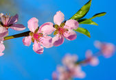 Pink blossom  — Stock Photo
