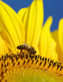 Bee in the sunflower  — Stock Photo