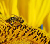 Bee i solrosen — Stockfoto