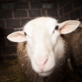 Sheep in the barn — Foto de Stock