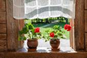 Geranium flowers on the window of rural wooden house on a sunny  — Stok fotoğraf