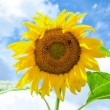 Yellow sunflower in the field against blue sky background — Stock Photo #55494987