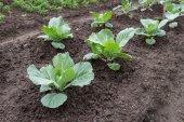Cabbage growing in the vegetable garden — Foto Stock