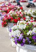 Decorative flowers in pots on a city street — Foto de Stock