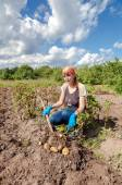 Young woman harvesting potato on the field in sunny day — Stock Photo