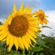 Yellow sunflower in the field against blue sky background — Stock Photo #60543087