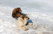 Stray dogs resting on the snow in winter day — Stockfoto