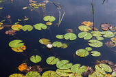 Small pond with water lilies and grassy summer sunny day — Fotografia Stock