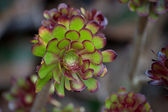 Aeonium plant (lat. Aeonium — Stock Photo