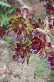 Aeonium plant (lat. Aeonium) — Stock Photo