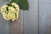 Hydrangea flower on a wooden blue background — Stock Photo
