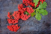 Bunch of red rowan berries and oak leaves — Stock Photo