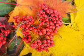 Red sorbus on the autumn maple leafs — Stock Photo